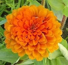 250 ORANGE KING ZINNIA Elegans Flower Seeds