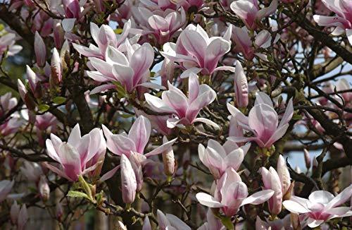 Magnolia soulangiana Tulpenmagnolie im Topf gewachsen ca. 60-80cm