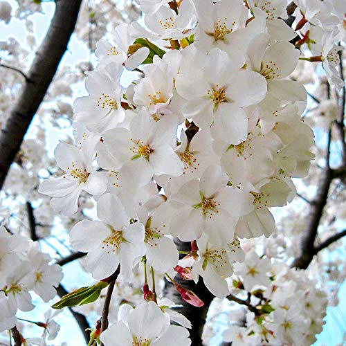 Prunus x yedoensis Shidare Yoshino | Weeping Cherry | Garden Tree | 5-6ft