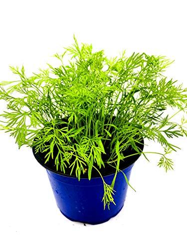 Dill Pflanze Anethum graveolens Kräuter Pflanzen 2stk.
