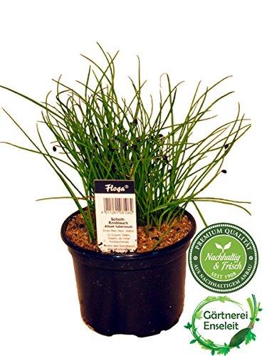 Schnittknoblauch Allium tuberosum Frische