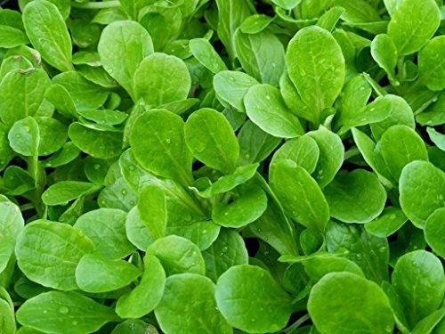 50 graines Agneaux Salade de maïs hollandaise laitue Mache salade fraîche saveur piquante! Héritage