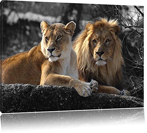 Pixxprint interessiertes Löwenpaar als Leinwandbild | Größe: 120x80 cm | Wandbild| Kunstdruck | fertig bespannt