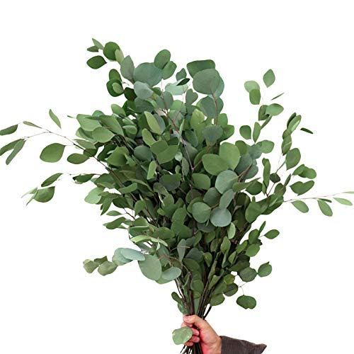 Foliner Ramas De Eucalipto Eucalipto Natural Seco Ramo De Flores Secas Ramo Eterno Seco Natural Hojas Decoración para Vacaciones, Fiesta, Boda, Jardín, Hogar (30-50 Cm)