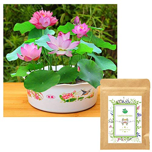Panago Seeds, 20 Water Lotus Seeds for Planting, Already Opened Bowl Lotus Seeds...