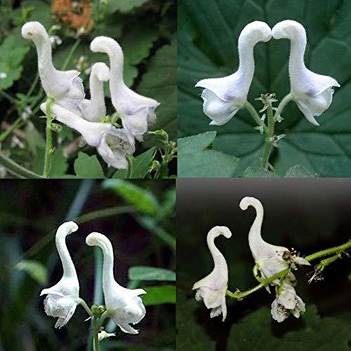 Fliegende Ente Orchidee Samen, KimcHisxXv 100 St¨¹cke Seltene Samen Zierblume Garten Hof Bonsai Decor - Fliegende Ente Orchidee Samen