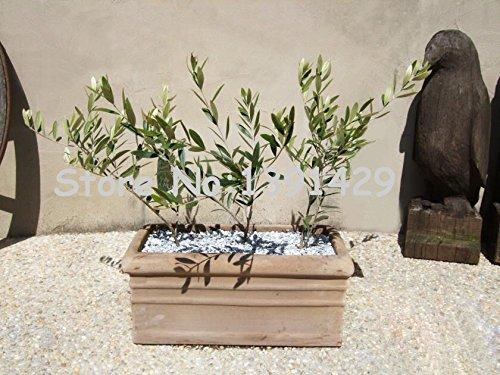 20pcs / sac arbre Olive Bonsai (Olea europaea) Graines, Mini Olive Tree, Olive Bonsai frais Arbre Exotique Graines, plante de jardin