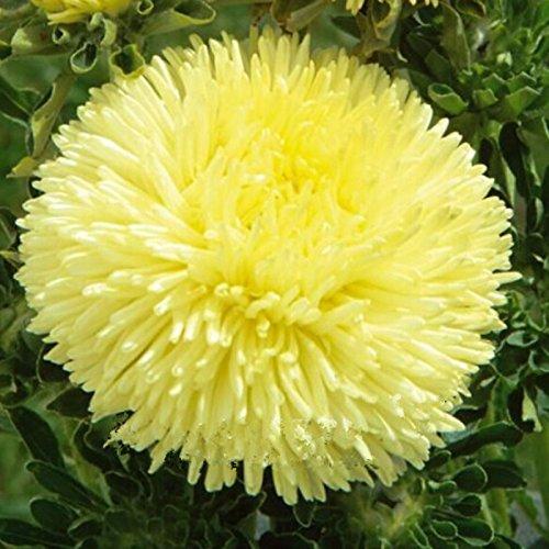 50 Chinois Jaune Graines Aster Fleur Callistephus chinensis Heirloom Jardin Fleur