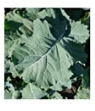 50 seeds PREMIER Kale Compact Vigorous Leaves up to 1' long! Cold hardy Heirloom