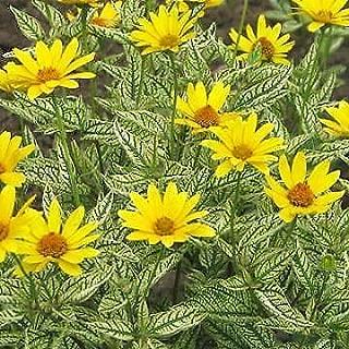 Best heliopsis scabra sunburst Reviews