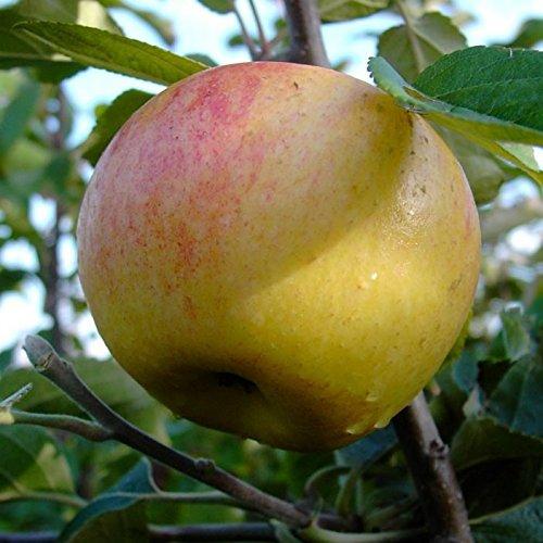 Müllers Grüner Garten Shop Dülmener Rosenapfel historischer Apfelbaum Herbstapfel Halbstamm 170-200 cm wurzelnackt auf Sämling