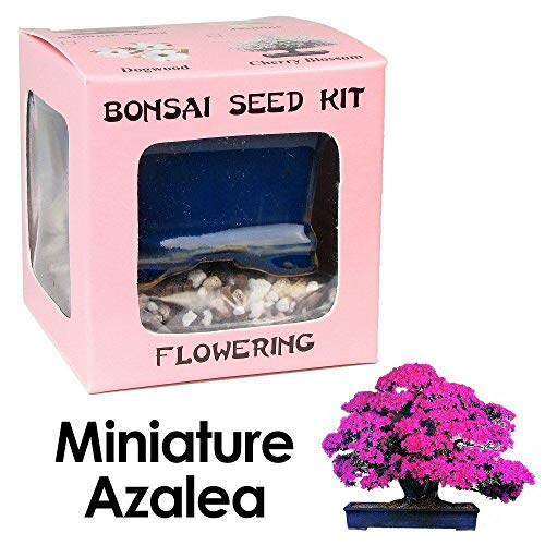 Sconosciuto Semi: Miniature Kit Seed Azalea Bonsai di Eva, ing, Kit Completo per Crescere Azalea