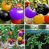 HoitoDeals 5 Semillas Rainbow Vegetales Fruta Tomate Rara Planta para Macetas, Recipientes, Invernadero