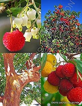 ARBUTUS UNEDO Erdbeerbaum mit exotischen Früchten selten blühender Madroño-Samen 50 SEEDS
