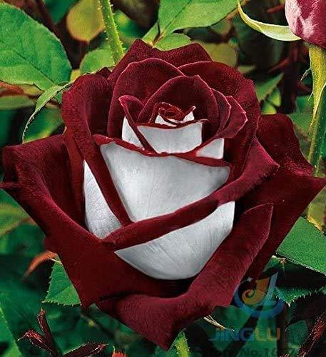 50 Abracadabra Rose Samen, seltene Farbe, Rose Osiria wunderschönen Blumen. der Liebhaber Rose Bonsai Pflanzen Rosen Samen.