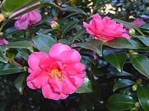 Shishi Gashira Camellia (Camellia sasanqua)
