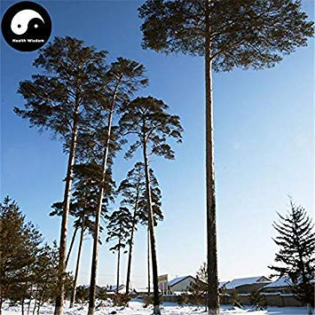Shopvise Acheter Changpai Pin sylvestre Graine Semente 240pcs Graine Pinus sylvestris Pin Beauté