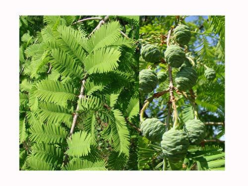 Lot de 2 arbres en bois de séquoile métasquoïa GLYPTOSTROBOIDES, 15 à 20 cm/8 cm, feuillage doux, couleurs d'automne bronze, exfoliant, écorce de couleur cannelle