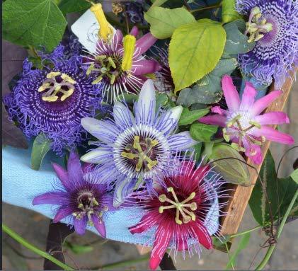 Tomasa Samenhaus- Passionsblumen 'Ladybirds Dream', Passiflora Samen mehrjährig exotischen Fruchtsamen Winterharter Passionsblume, Passiflora Bonsai Samen