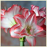 Amaryllis Bulbs-Rare green flowers, wonderful decorations and air-purifying plants, romantic floral gifts for Valentine's Day-3,1 Zwiebeln