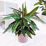Efervescente Calathea Magicstar | Las Mejores Plantas de Interior en Venta (30-40cm Incl. Maceta)