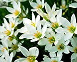 Especial fragante semillas de flores Lobularia maritima, semilla balón Hornsey, bola de nieve de especias, alrededor de 50 partículas