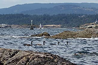 Home Comforts Bc Ocean Victoria Canada Geese Vivid Imagery Laminated Poster Print 11 x 17