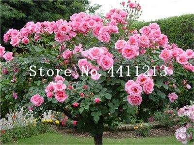 Kalash New 20Pcs Rose Tree Blumensamen für Gartenhellrosa