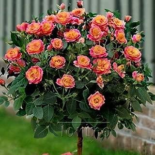 50 Purple Chinese Rose Tree Bonsai seed Red Rose tree Orange Rose Tree Beautiful yard flower easy to grow pretty Free Shipping