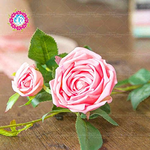 100pcs coloré Graines Rose avec bord rouge, couleur rare jardin populaire Graines de fleurs vivaces Bush ou Bonsai Fleur 9
