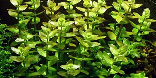 Bacopa Karolinana x 1 bunch - waterplanten
