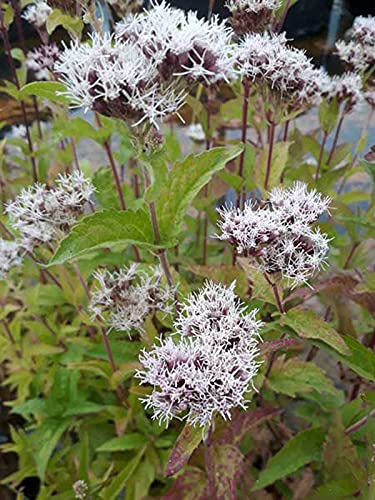 WASSERDOST - Eupatorium cannabinum - Winterharte Wasserpflanze für Ihren Teich - H2O-Pflanze