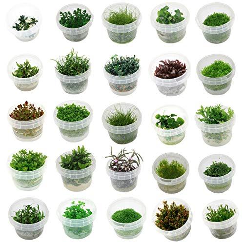 Naqua In Vitro Aquarium Pflanzen - Aquascaping - Wasserpflanzen (Rotala Vietnam H'ra)