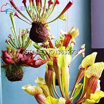 10ピースパープルピッチャー植物サラセニアプルプレア花種子肉食植物花植栽オフィスミニ植物