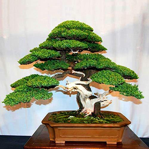 Semillas para jardinería, 20 piezas de pino blanco japonés Pinus Parviflora verde Plantas mini árbol bonsái semillas