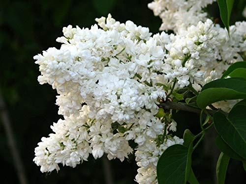 Edelflieder Syringa vulgaris 'Mme Lemoine' Pflanze 5-10cm weiß Flieder Rarität