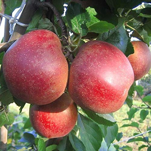Müllers Grüner Garten Shop Apfelbaum Roter Boskoop beliebter Winterapfel Halbstamm 170-200 cm wurzelnackt Unterlage Sämling