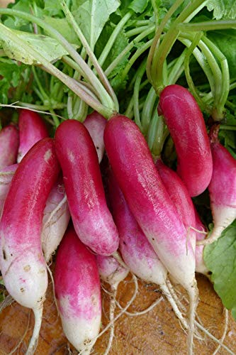PLAT FIRM GRAINES DE GERMINATION: 2000 graines: French Breakfast Radis Heirloom Seeds long jardin délicieux 30 jours faciles 2 gro!