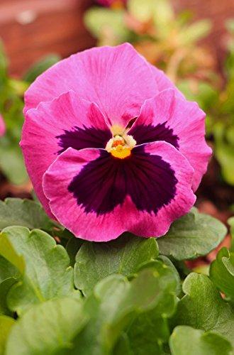 Pensée de jardin a grandes fleurs\