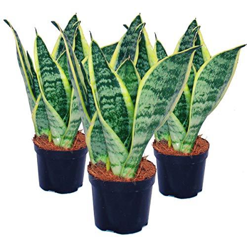 3er Set Sansevieria trifasciata - yellow-green bow hemp - 9cm pot