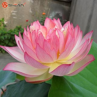 Hot Sale!!! 30pcs/bag Pink Bowl Lotus Garden Plants Potted Flowers Seed Water Lily Seeds Flowering Plants