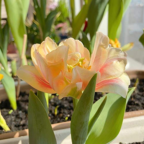 Tulpen zwiebeln,Mehrjährige lange Blüten,Viele Farben konkurrieren um Geschenke-2,5zwiebelns