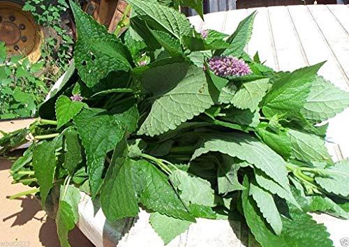 500 graines KOREAN MINT (Huo-xiang, Monnaie coréenne) excellent pour faire du thé au soleil.