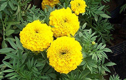 100 / sac jaune Graines africaine Marigold français Marigold Herbes Tagetes Erecta Fleur Tagetes fleur pour plantes maison de jardin