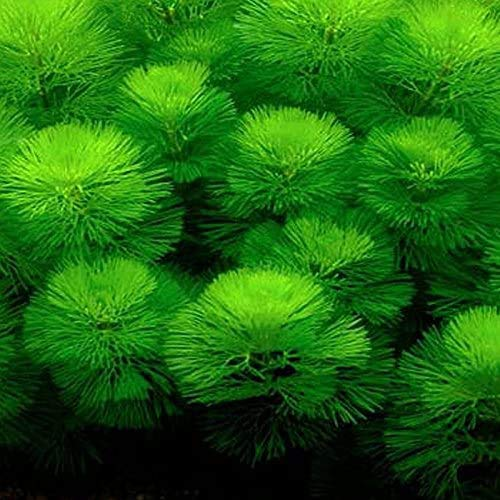 (水草)カボンバ 金魚藻<10本>メダカ カモンバ emuwai