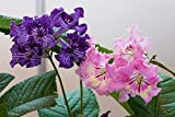 CROSO Seeds Pacakge NUR Nicht Pflanzen: PrimroseSamen (Streptocarpus Mix), Blüten ForMonths