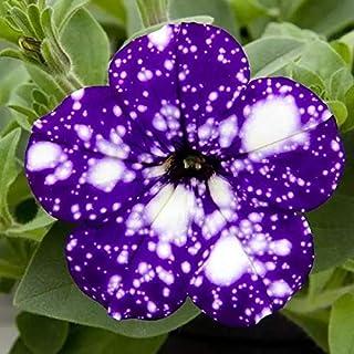 70 Pcsgarden Petunia Semillas Seeds Flower Seeds Sementes