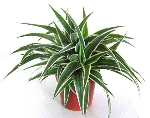 Chlorophytum comosum - Grünlilie luftreinigende, pflegeleichte Zimmerpflanze im 12 cm Topf - gute Ampelpflanze (Hängepflanze)