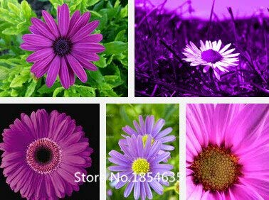 Multi-Colored : Garden Plant 200 Daisy Seeds -Natural Mosquito Repellent,Easy Cultivation Flower Seeds Bonsai Seed