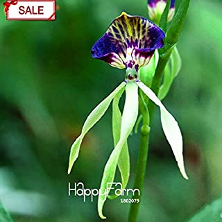 Octopus Red Red Octopus Sale!Flowering Plants Garden Purple Edge Octopus Orchid Seed Beautiful Bonsai Orchids 50 Pcs/Bag,#LGHGCL